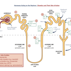 Kidney Nephron Structure Diagram Electric Switch Wiring Introduction To Renal System Physiology Flashcards