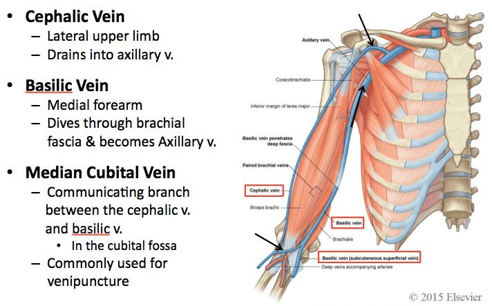 Anterior Forearm Vascular Anatomy