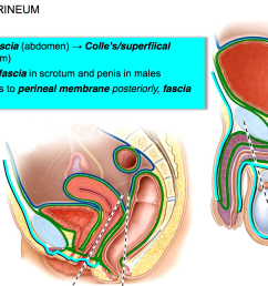 how is the fascia related between the abdomen and the perineum [ 1962 x 1088 Pixel ]