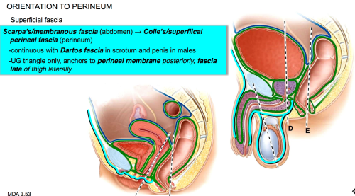 small resolution of how is the fascia related between the abdomen and the perineum