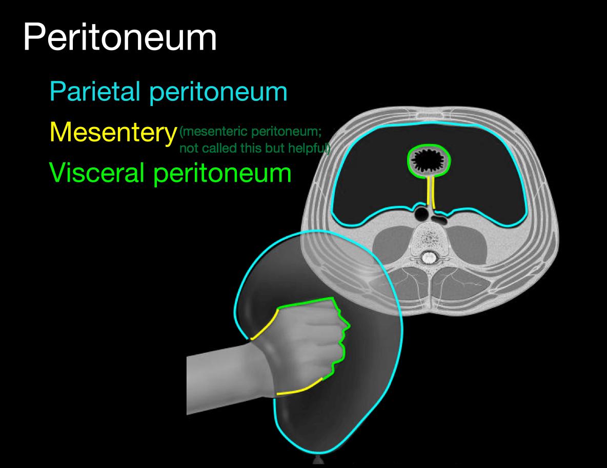 hight resolution of 2 layers of peritoneum anchor visceral peritoneum to parietal peritoneum houses arteries veins