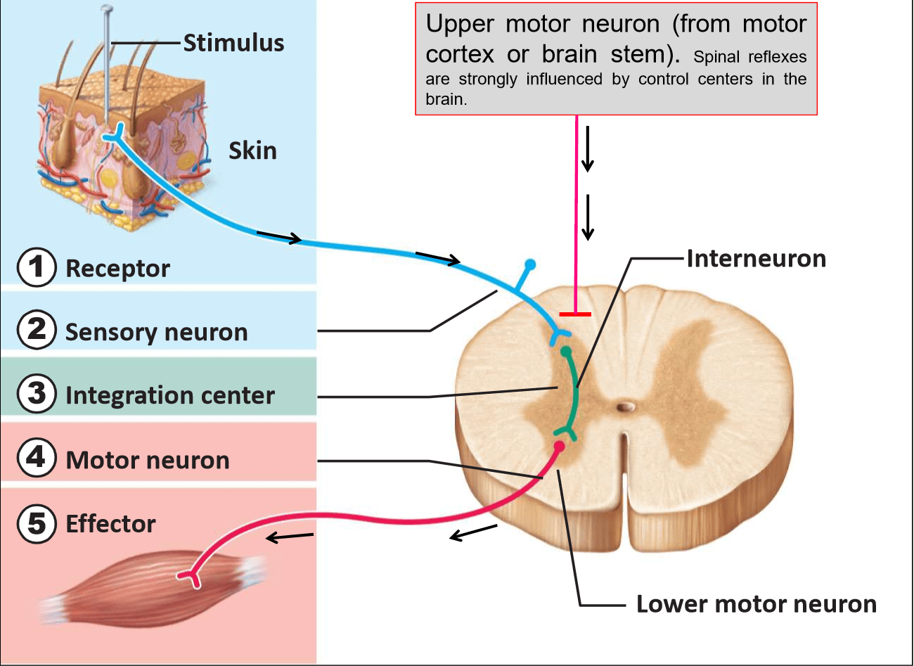 diagram of a simple reflex arc vw golf mk5 abs wiring sensory vs motor neurons impremedia
