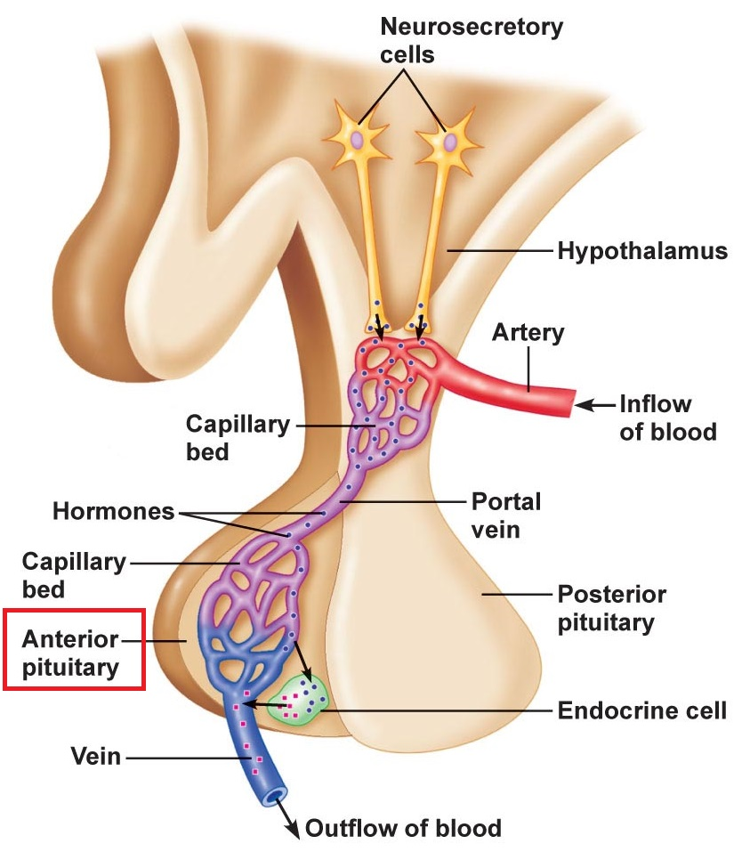 medium resolution of anterior pituitary gland
