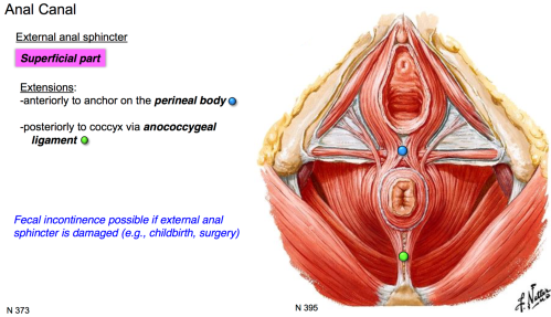 small resolution of perineal body
