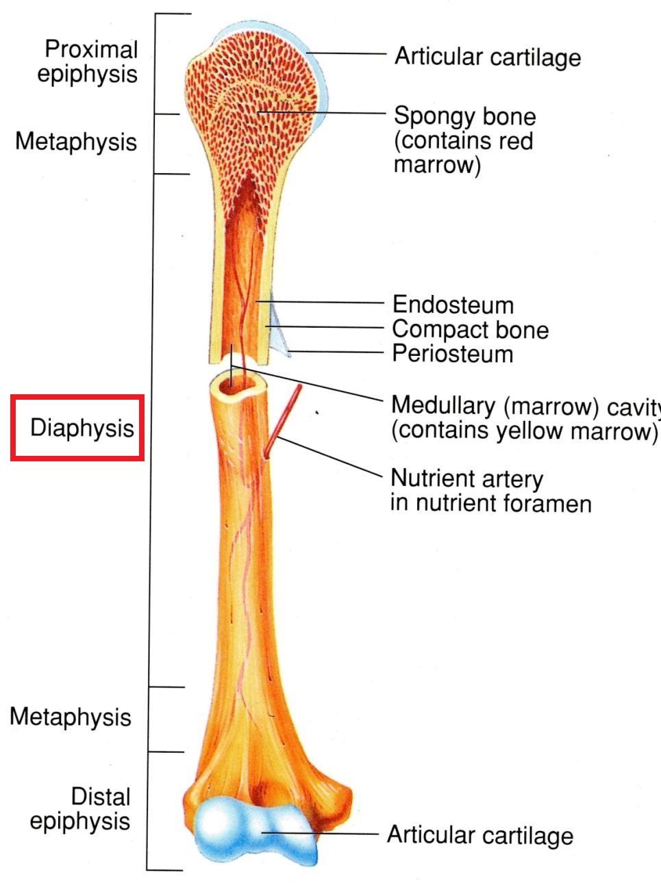 medium resolution of the skeletal system bone structure mcat 2018 biology flashcards memorang