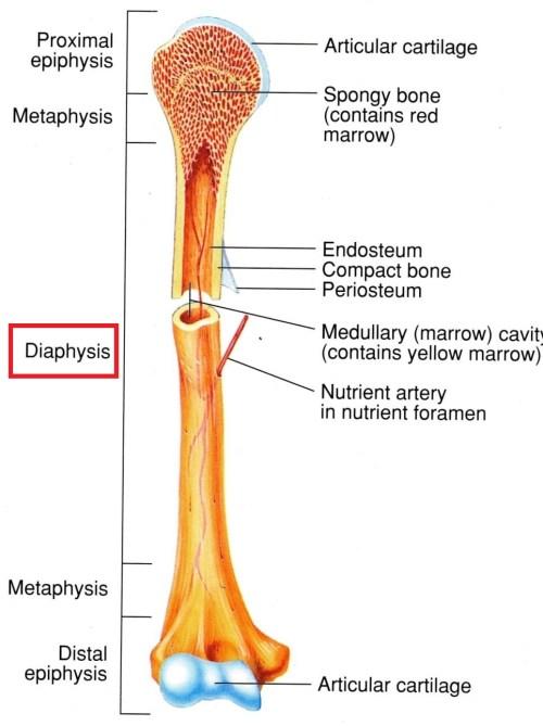 small resolution of the skeletal system bone structure mcat 2018 biology flashcards memorang