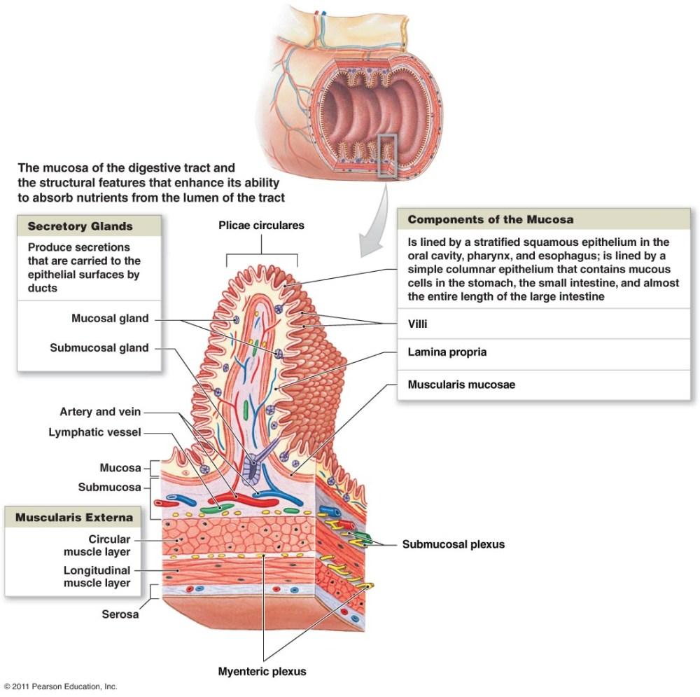medium resolution of colon mucosa diagram wiring diagrams simple nasal diagram diagram of mucosa wiring diagram blog goblet cells