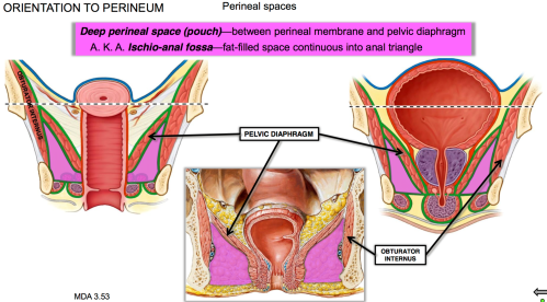 small resolution of where is the deep perineal space pouch located