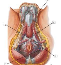 perineum diagram [ 800 x 1200 Pixel ]