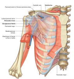 clavipectoral fascia [ 934 x 978 Pixel ]