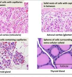 histology and cell biology of the endocrine system 5 9 endo flashcards memorang [ 1152 x 924 Pixel ]