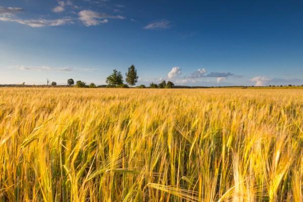 landscape of corn field summer
