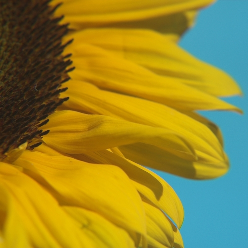 Sunflower Poster print by Omorfia Photography
