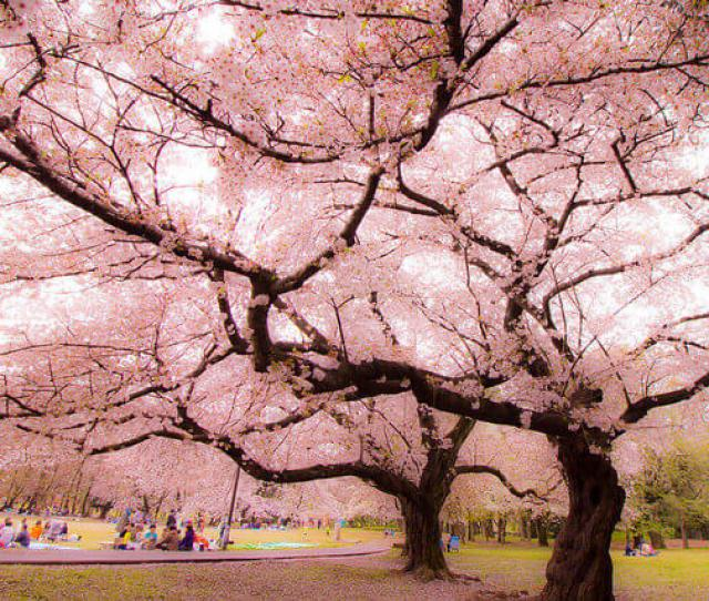 Cherry Blossom Trees In Minecraft It Would Fit Perfectly In The Enviroment For The Upcoming   Update And It Would Be Awesome For Decorations