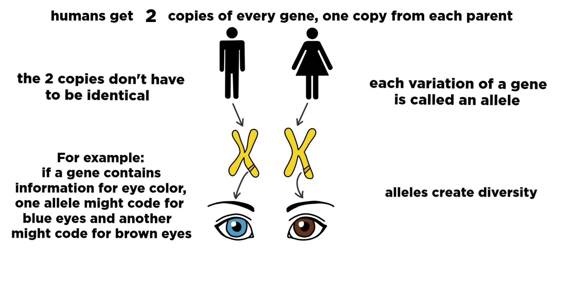 Alleles Definition Amp Role In Inheritance