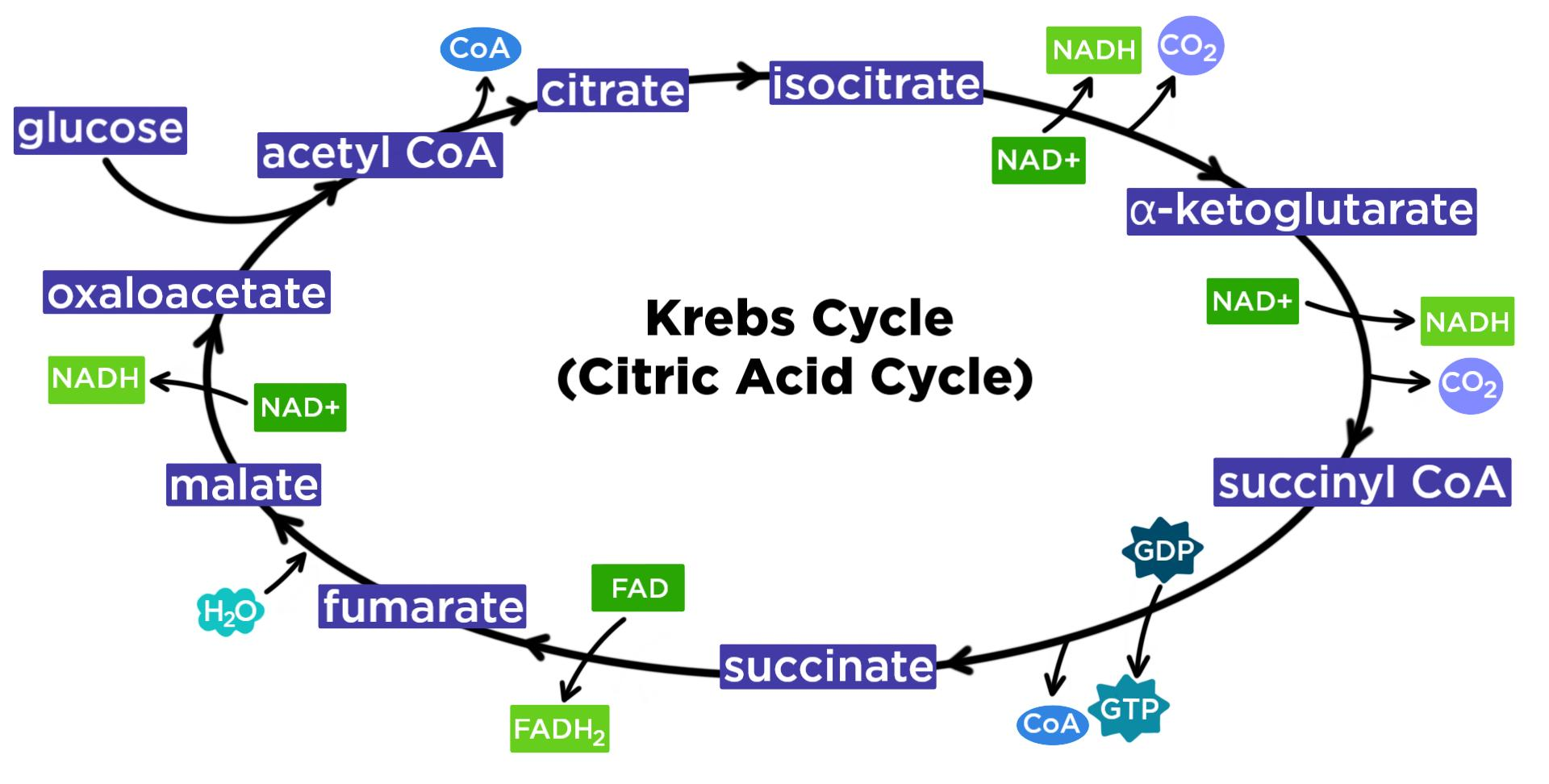 Krebs Cycle Citric Acid Cycle Steps Amp Diagram