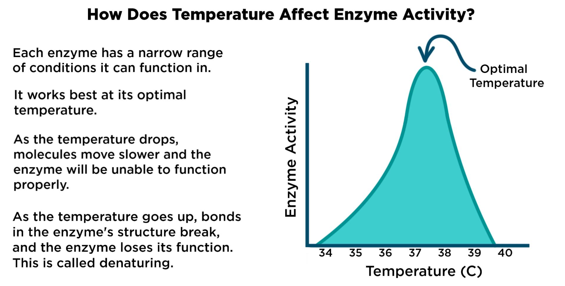 Temperature Enzyme Reaction Rates