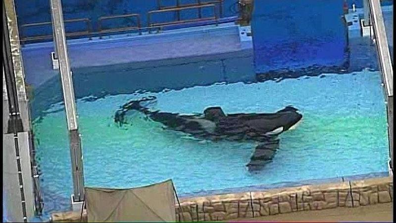 Tilikum in tank