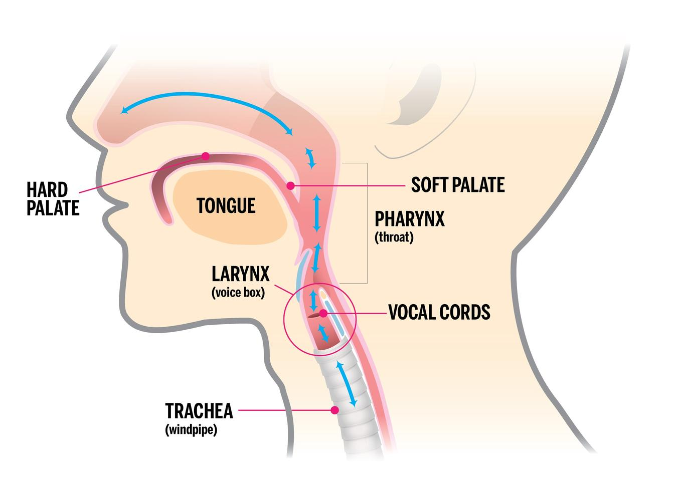 hight resolution of vocal fold diagram