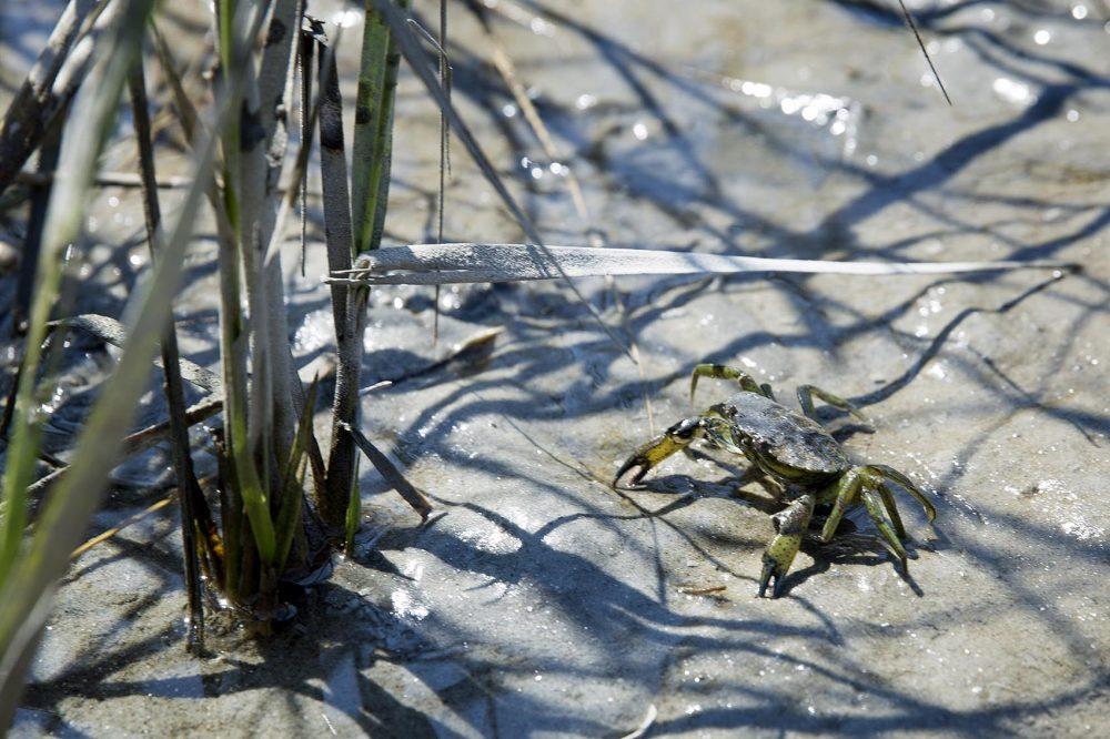 A crab seeks refuge from predators in the salt marsh's cordgrass. (Robin Lubbock/WBUR)