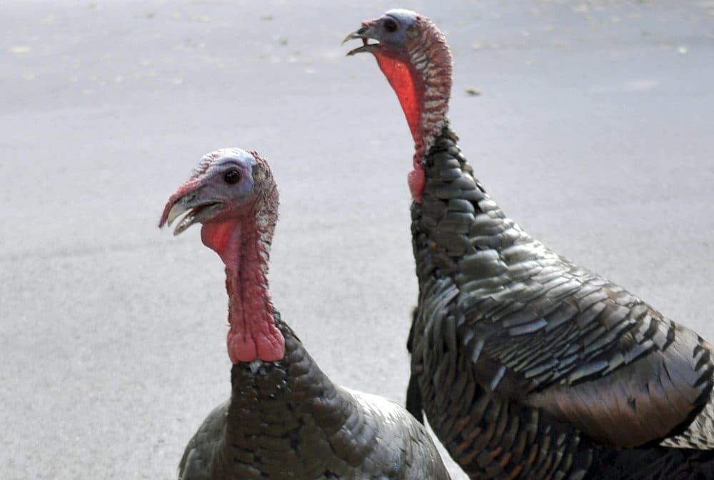 see a wild turkey