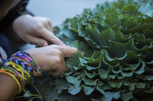 A young patient peers into a head of lettuce. (Jesse Costa/WBUR)