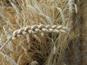 Hard red winter wheat grown on Oechsner Farms. (Oechsner Farms)