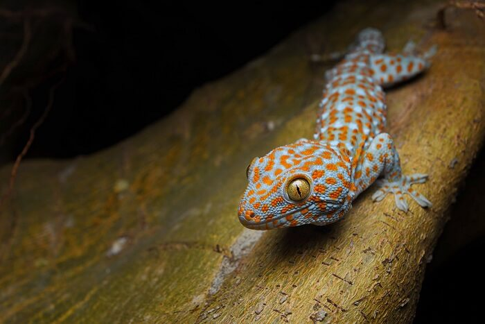 Lizards, Skinks and Geckos in maldives
