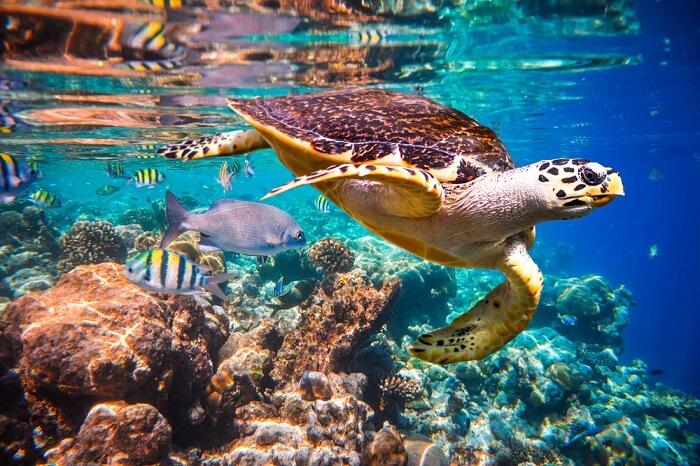 Turtle in maldives