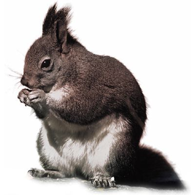 squirrel meaning of squirrel