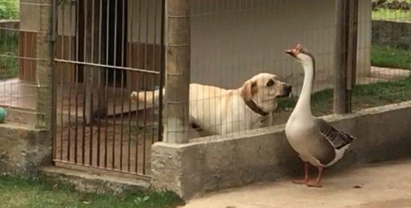 Thor e o amigo ganso - Foto: reprodução