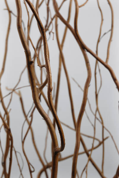 Natural Curly Willow Branches 12 Branches 34 Feet