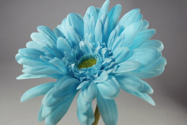 12 Gerbera Daisies Aqua Turquoise 21