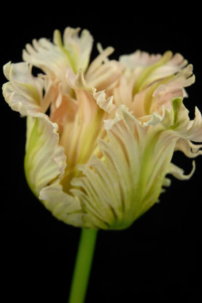 Real Touch Parrot Tulip Pink  Green 31in