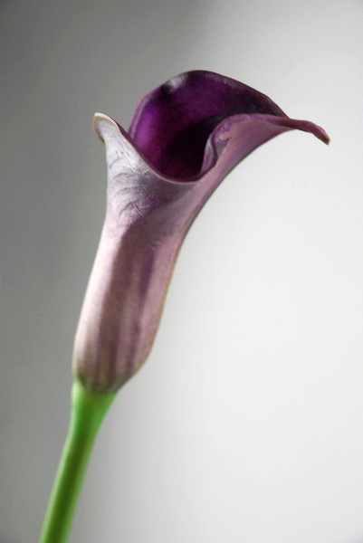 Real Touch Deep Purple Calla Lily Bud Flowers 25