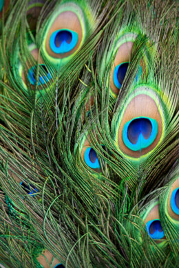 100 Peacock Eye Feathers 812in