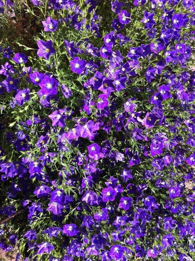 purple flowers yellow center