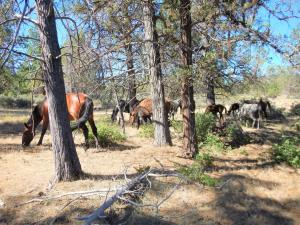 Wild horses seen reducing wildfire fuels off a forest floor, protecting the forest