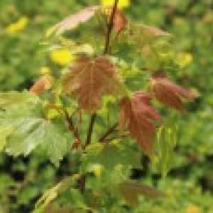 Ahorn 'Jeffersred Autumn Blaze' ®, Acer freemanii 'Jeffersred Autumn Blaze' ®, Topfware