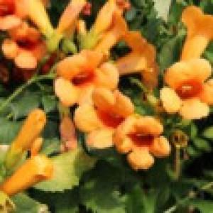 Amerikanische Klettertrompete 'Indian Summer' ® 'Kudian', Stamm 80 cm, 100-150 cm, Campsis tagliabuana 'Indian Summer' ® 'Kudian', Stämmchen