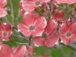 Amerikanischer Blumen-Hartriegel 'Cherokee Brave', 40-60 cm, Cornus florida 'Cherokee Brave', Containerware