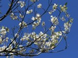 Amerikanischer Blumen-Hartriegel 'Cloud Nine', 40-60 cm, Cornus florida 'Cloud Nine', Containerware
