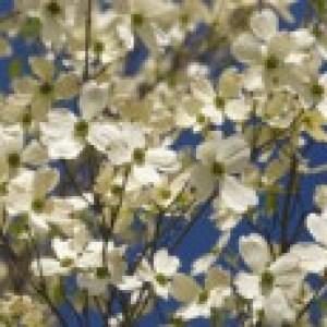 Amerikanischer Blumen-Hartriegel, 40-60 cm, Cornus florida, Containerware