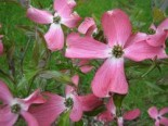 Amerikanischer Blumen-Hartriegel 'Sweetwater', 40-60 cm, Cornus florida 'Sweetwater', Containerware