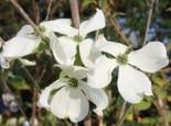 Amerikanischer Blumen-Hartriegel 'Cherokee Princess', 40-60 cm, Cornus florida 'Cherokee Princess', Containerware