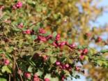 Amethystbeere 'Magic Berry', 60-100 cm, Symphoricarpos doorenbosii 'Magic Berry', Containerware