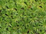 Andenpolster, Azorella trifurcata, Topfware