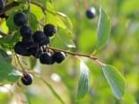 Apfelbeere 'Nero', 40-60 cm, Aronia prunifolia 'Nero', Containerware