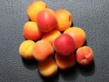Aprikose 'Harlayne', Stamm bis 60 cm, 120-160 cm, Prunus armeniaca 'Harlayne', Containerware