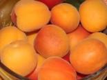 Aprikose (Zwergform), Stamm 20-30 cm, Prunus armeniaca (Zwergform), Stämmchen